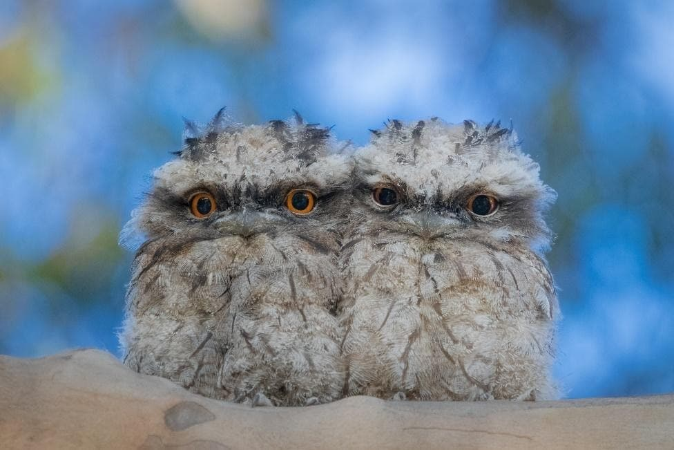 Tawny Frogmouth Babies, Source: Shutterstock
